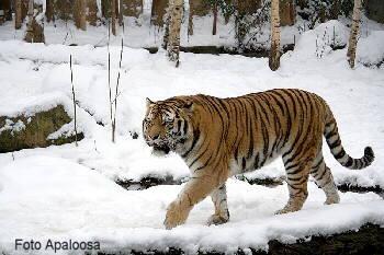 Raubkatzen Sibirischer Tiger Informationen Aussehen Lebensraum